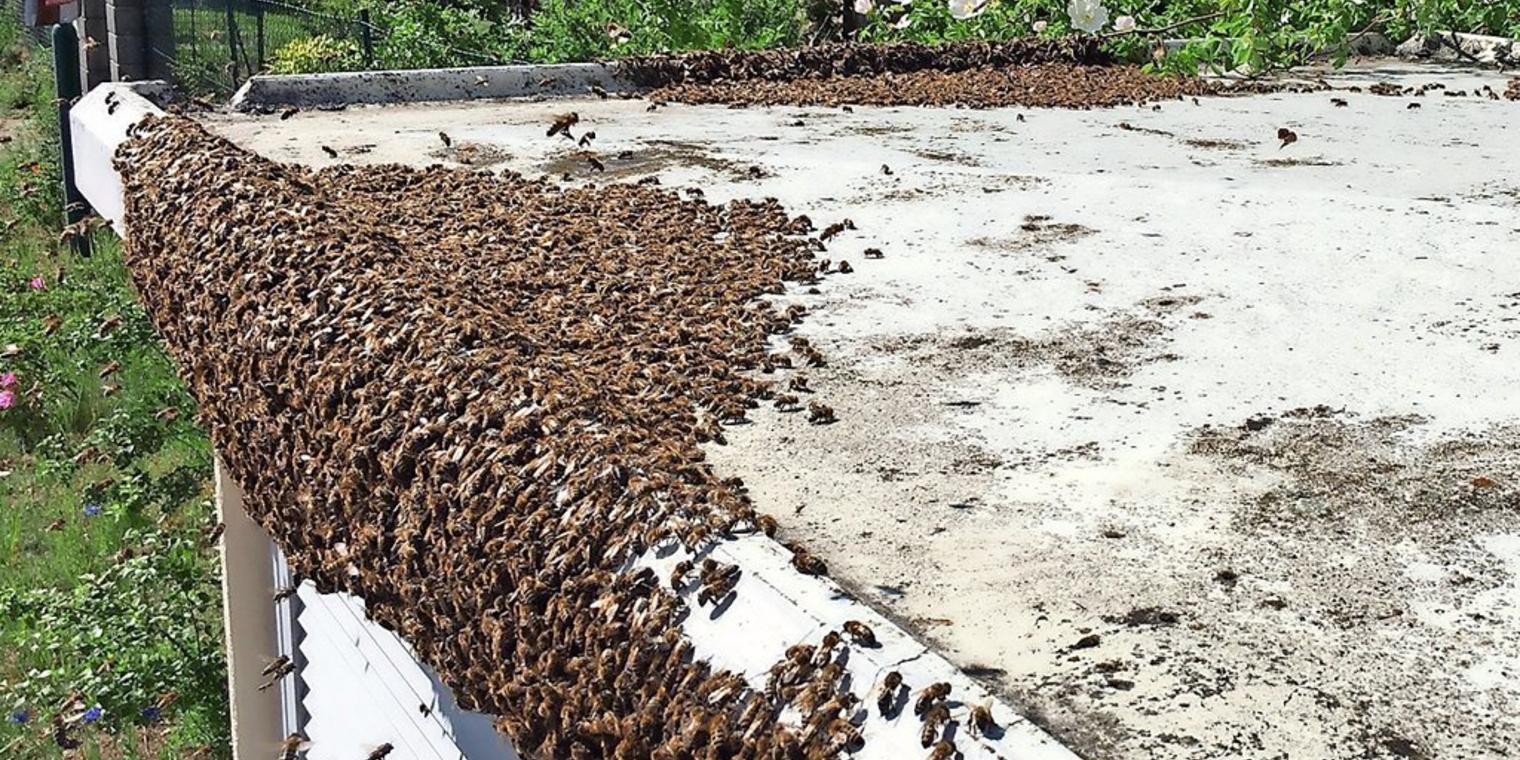 Bienen-Alarm: Bienenkönigin auf der Flucht